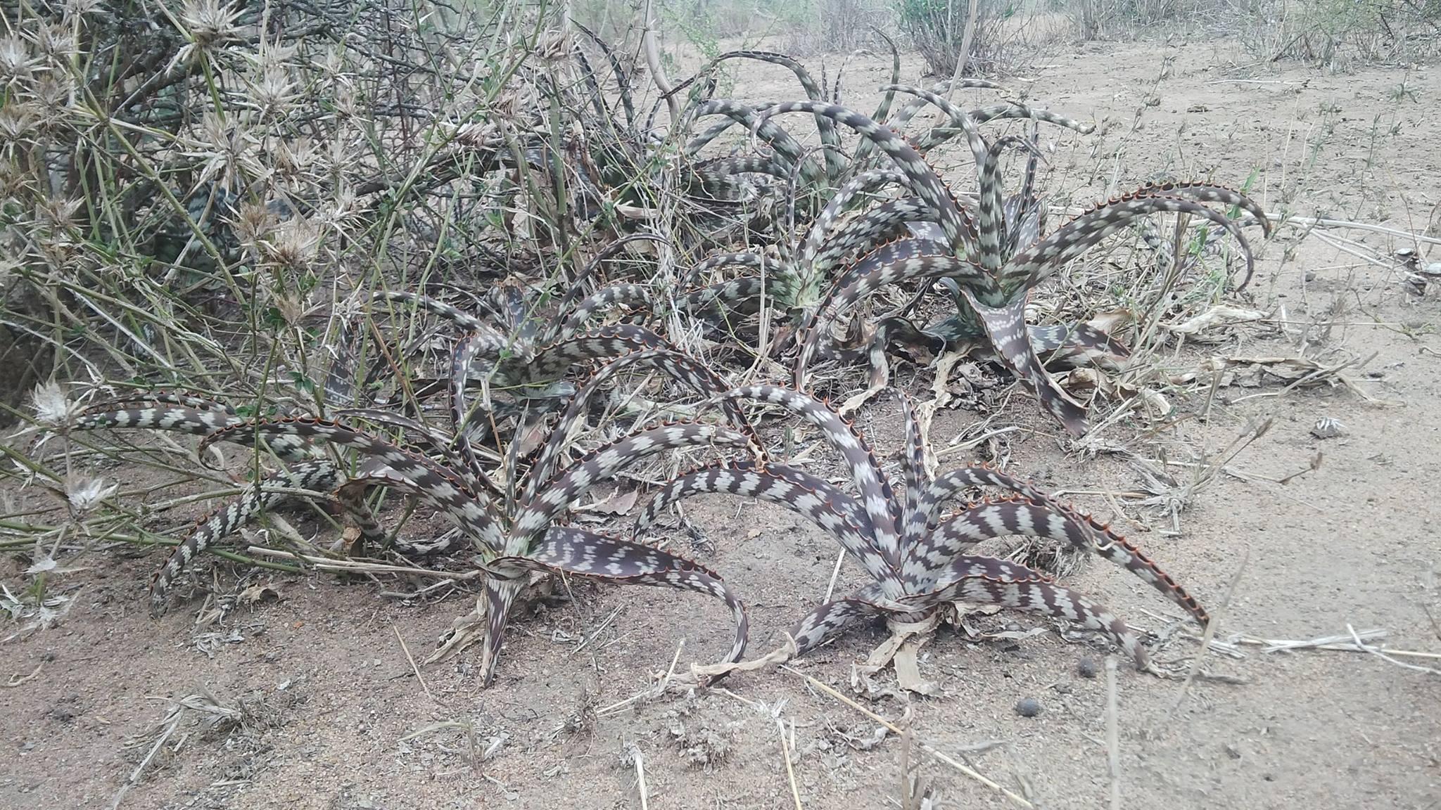 Aloe parvibracteata , close to Moamba district, In Maputo province southern Mozamque