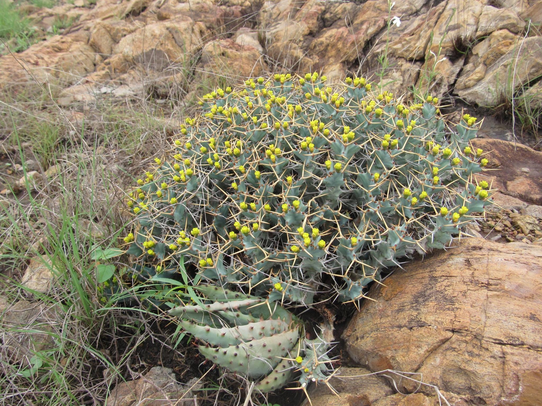 Euphorbia clavigera, from Moamba district Maputo province southern Mozambique