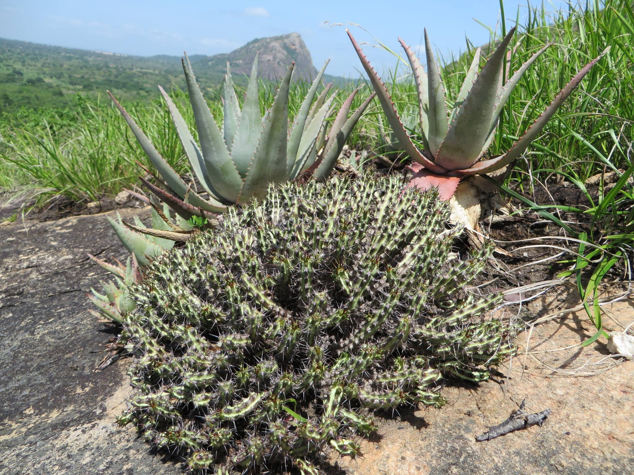 Euphorbia sp from Montepuez, in Cabo Delgado province northern Mozambqie