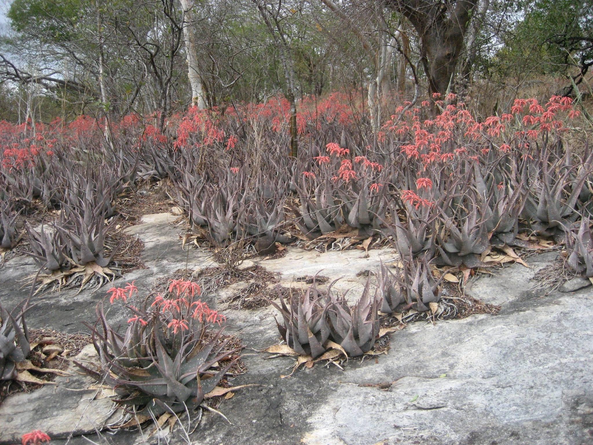 Aloe chabaudii2