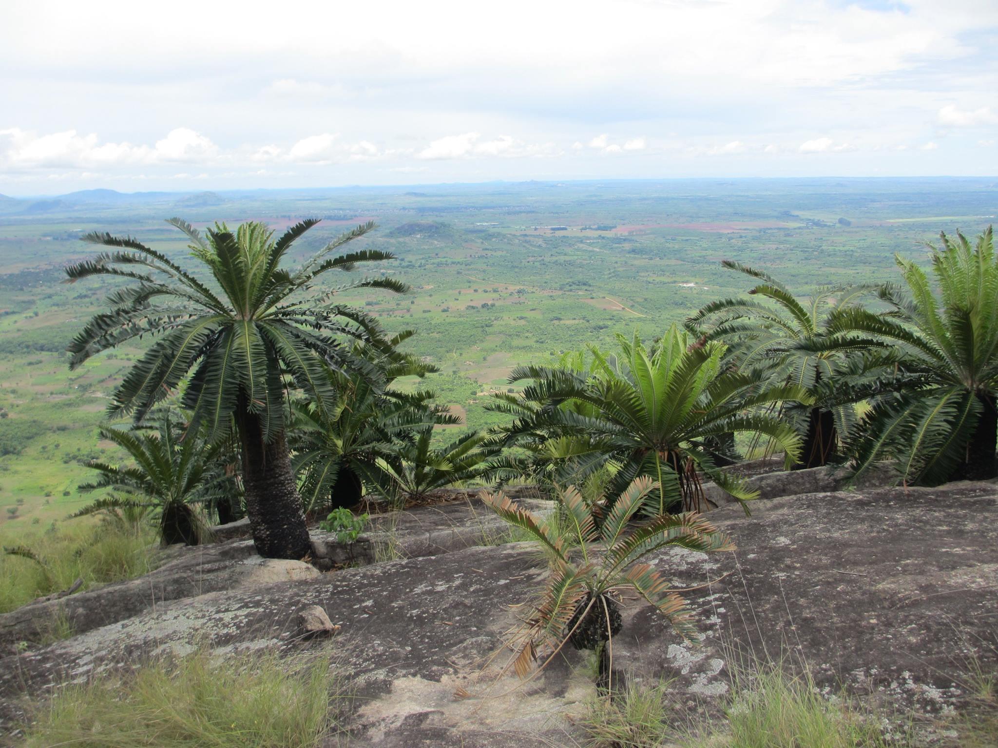 Encephalartos manikensis from Garuzo mount in Manica Province center of Mozambique