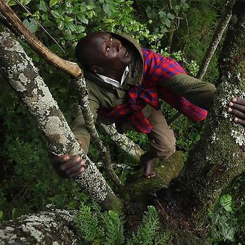 A_man_climbs_a_tree_MauForest.jpg