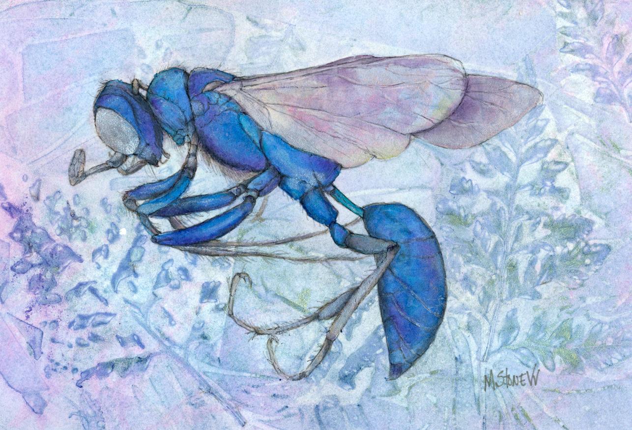 Steel Blue Wasp Cricket Hunter