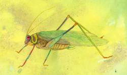 Ecuador Amazon Katydid