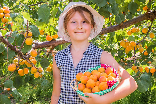 Pretty, young girl is  harvest apricots