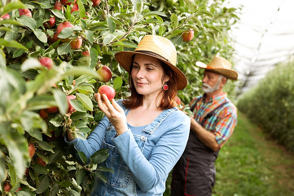 Two farmers in apple orchard, harvesting tame .jpg