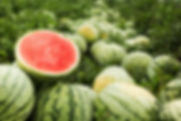 Red cut watermelon on a pile of ripe wat
