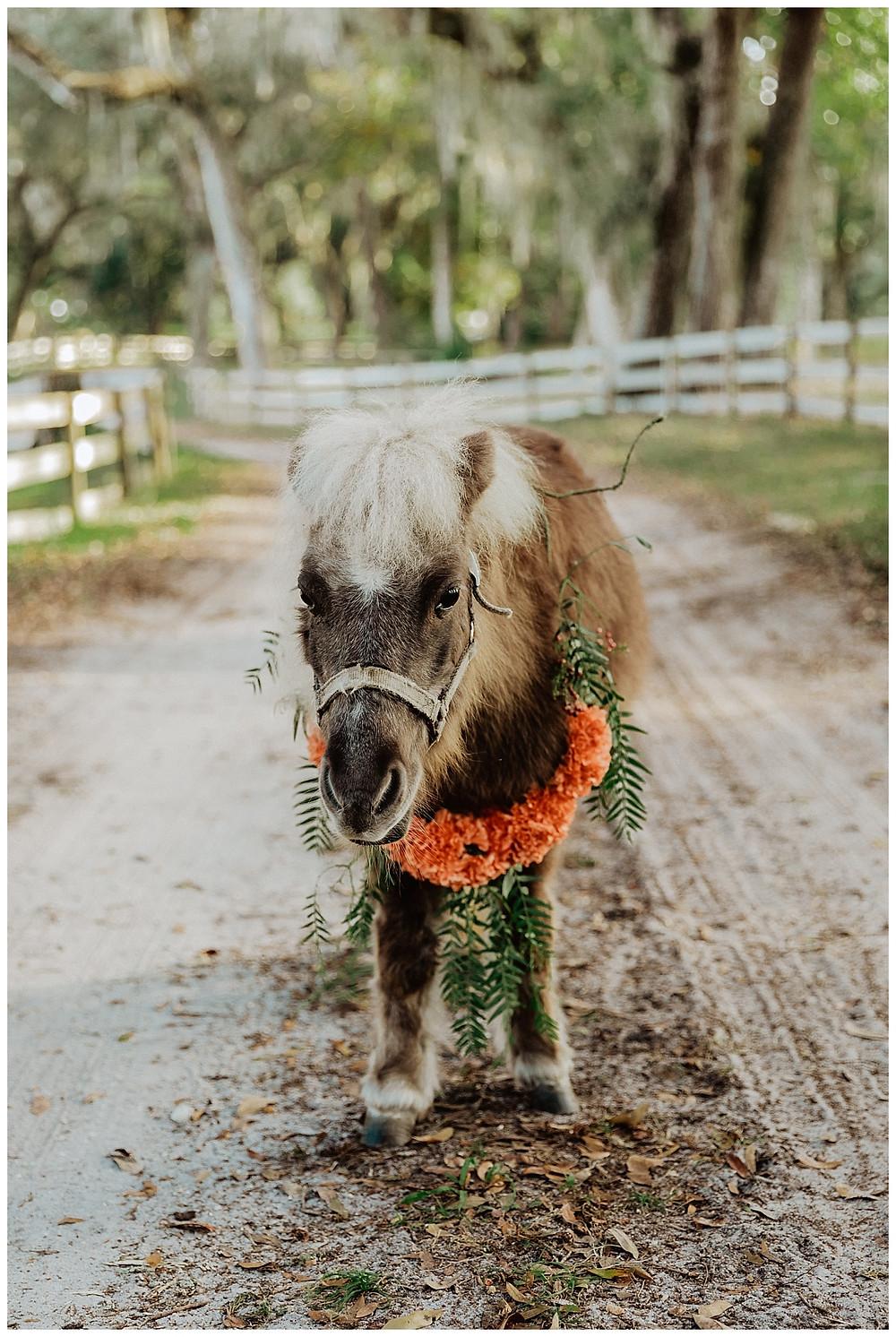 Beauty the Mini Horse at Enchanted Oaks Farms, Ocala Florida