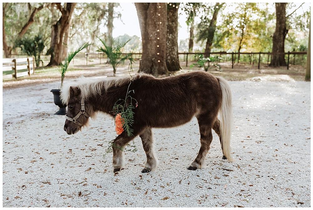 Beauty, the Mini Horse at Enchanted Oaks Farms, Ocala Florida