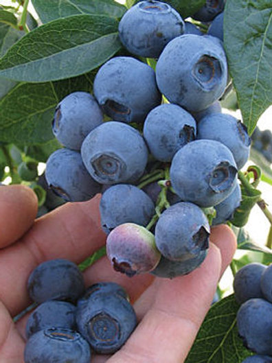 Blue Ray Blueberries