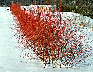 Red stem dogwood.jpg