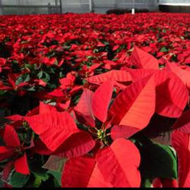 poinsettia-photo-250x250.jpg