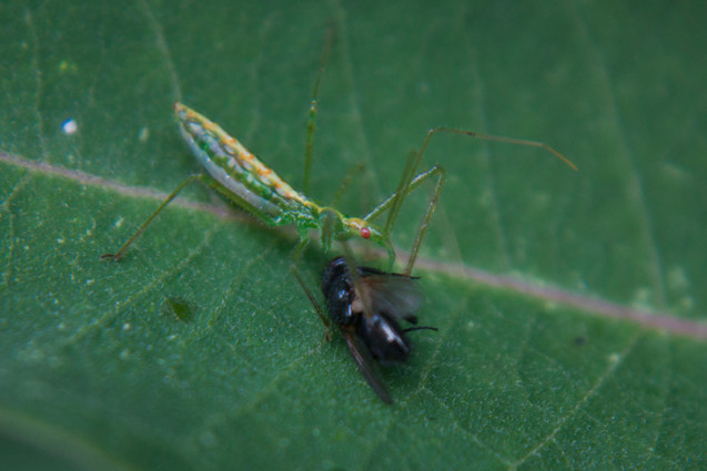 Assassin bug eating a fly