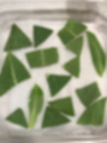 Leaf cuttings with Monarch eggs