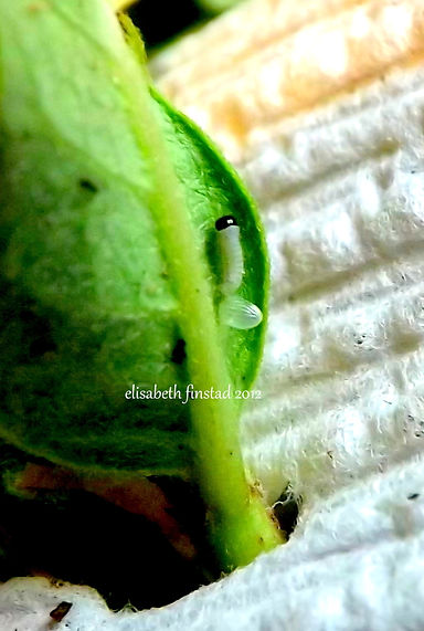 Monarch caterpillar hatched from egg