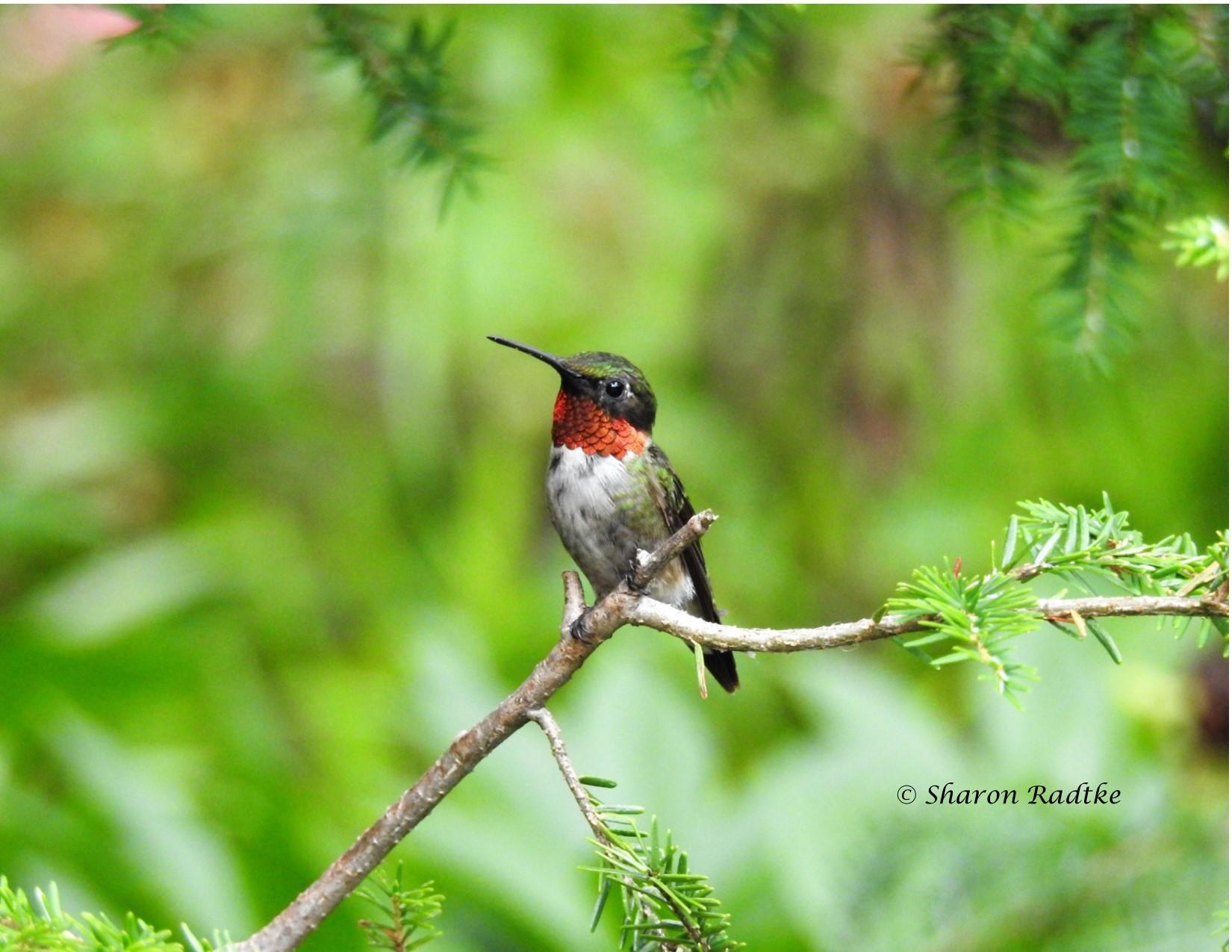 Hummingbird Posing