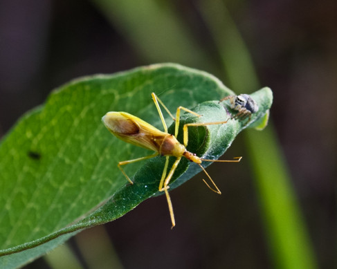 Assassin Bug and Jumping Spider