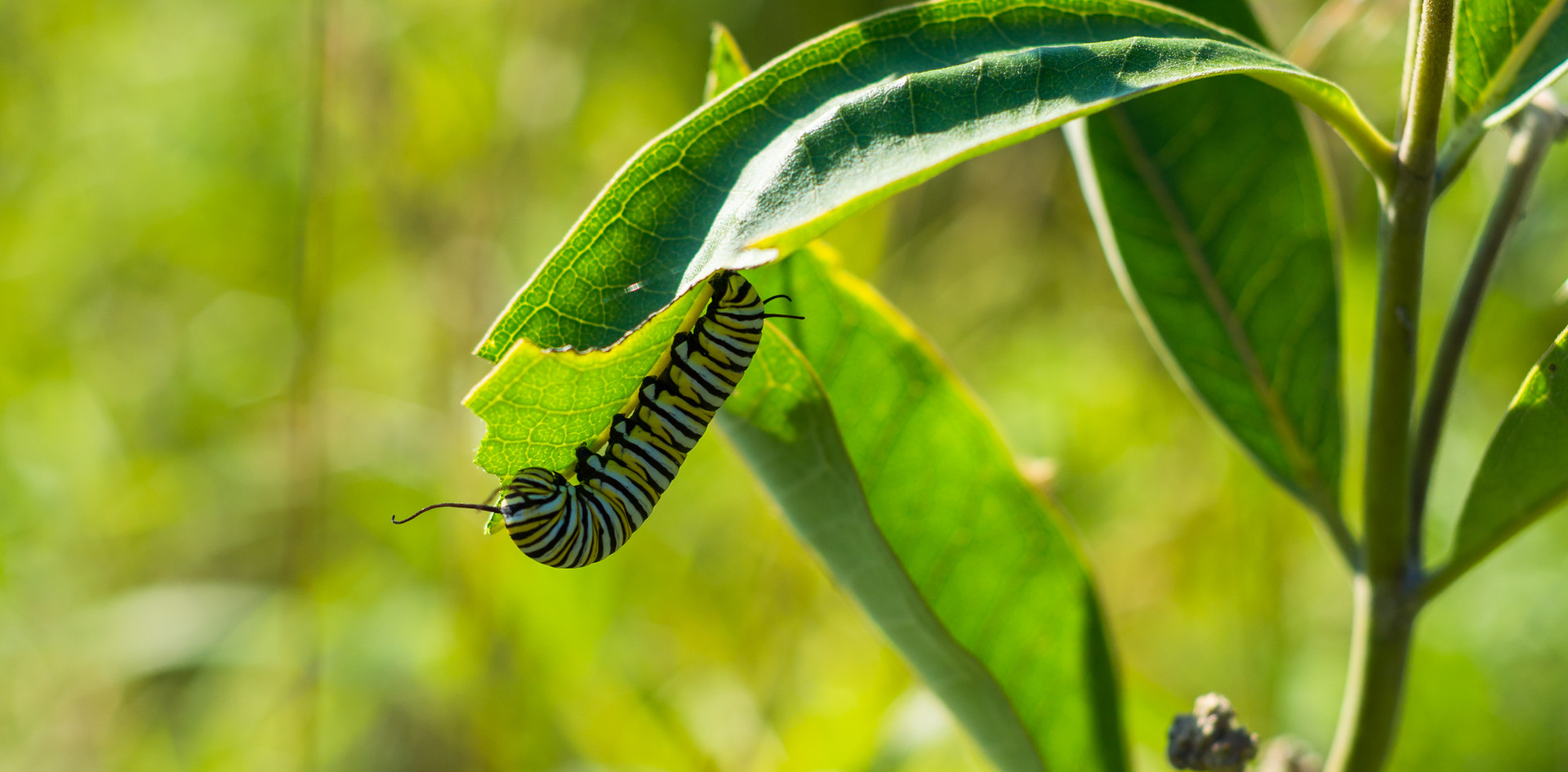 5th Instar Caterpillar On Milkweed
