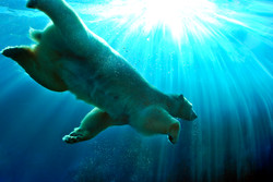 Underwater with a Polar Bear