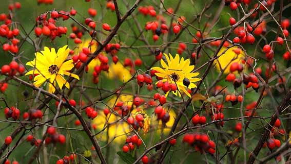 Sunflowers and Rose Hip
