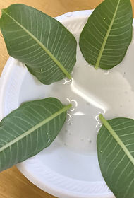 Monarch Eggs on Milkweed Leaves in water