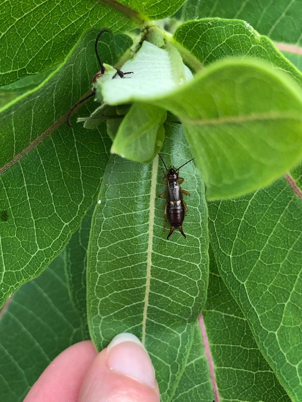 An earwige and a milkweed bug