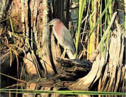 Green Heron in the Marsh