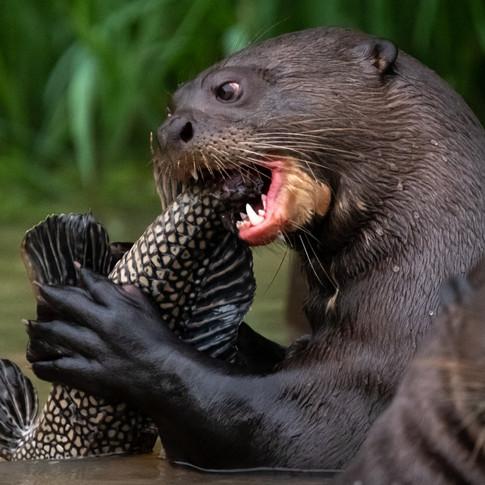 Giant River Otter.jpg