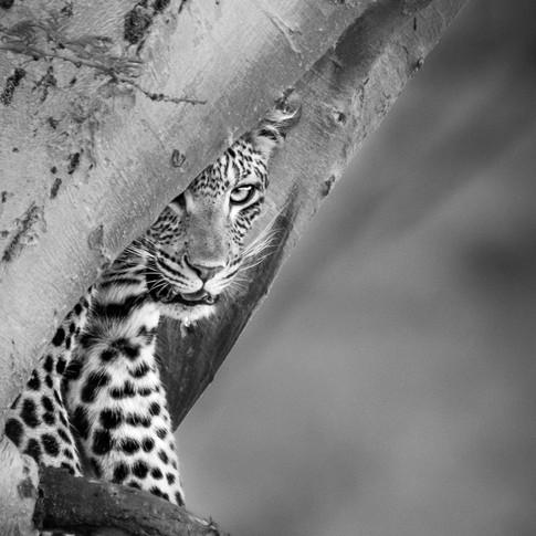 LeopardB&W.jpg