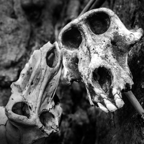 Baboon Skulls.jpg