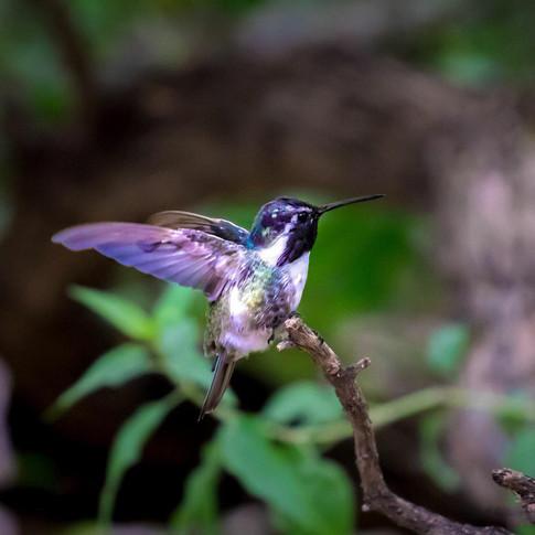 HummingbirdInFlight.jpg