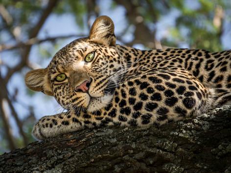 Lady Leopard