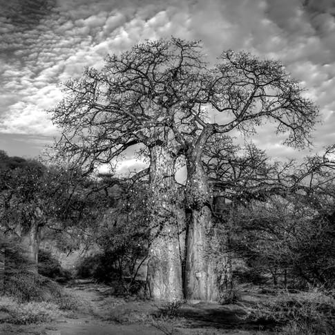 Baobob.jpg