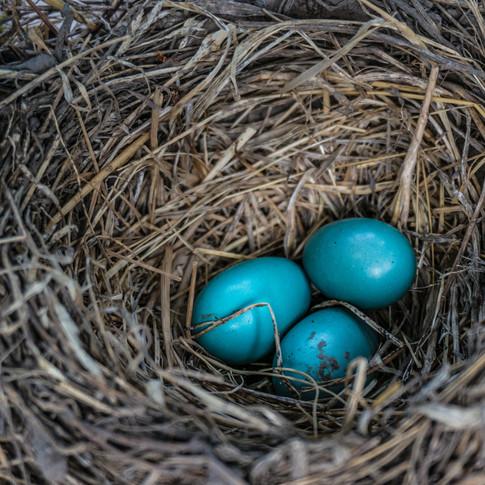 Blue Eggs on the Vine.jpg