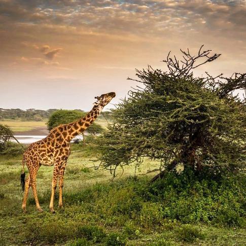 Giraffe_1.png