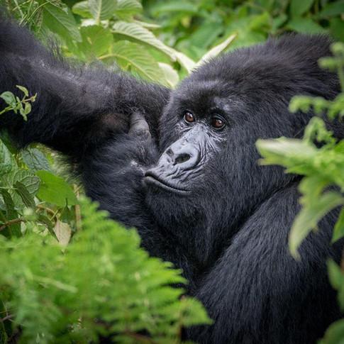 GorillaProfile.jpg