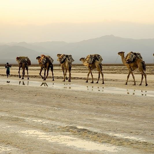 afar camel cravans