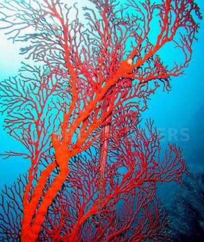 Red sea fan jepun - gorgane rouge