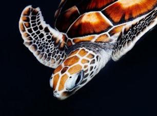 scuba diving sea turtle