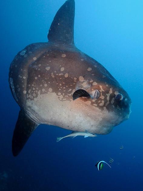 Mola mola à Crystal Bay