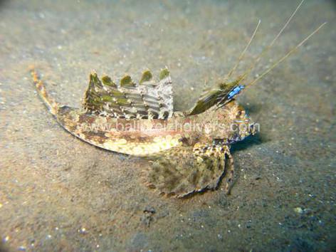 lezard fish, Bali
