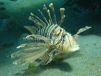 Lion fish, Rascasse plongée Bali