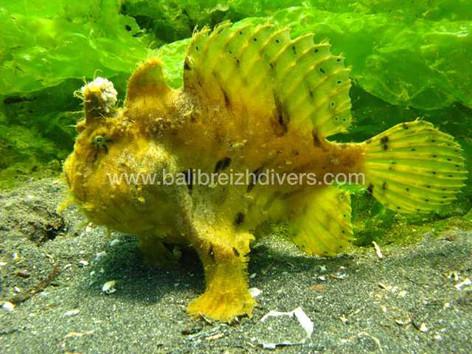 frog fish Padang bay