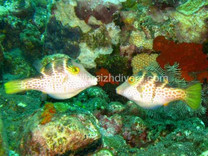 Pufferfish, Poisson Coffre Plongée