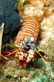 Shrimp Bali , Crevette