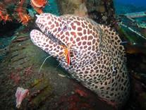Moray eel / murenne Bali