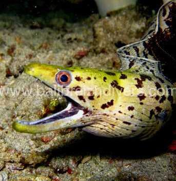 moray eel Jetty, Murène Plongée Jetty