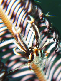 tiny crab Bali