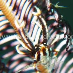 tiny crab Tulamben