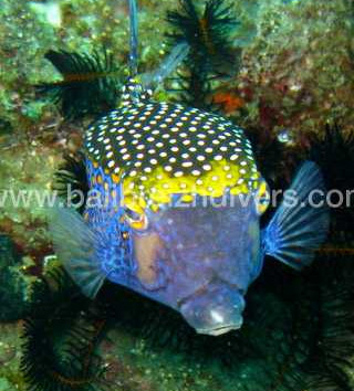 Pufferfish, poisson coffre
